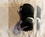 Small Photo #12 Beagle Puppy For Sale in LAFAYETTE, IN, USA