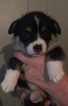 Pembroke Welsh Corgi Puppy For Sale in GLEN, NH, USA