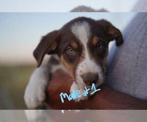 Border Collie Puppy for Sale in CALHAN, Colorado USA