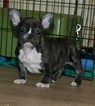 French Bulldog Puppy For Sale in LAKESIDE, CA, USA