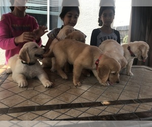 Golden Retriever Puppy for Sale in ROSEVILLE, California USA