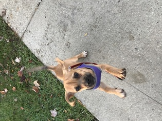 Beagle Harrier-Pug Mix Puppy For Sale in PALATINE, IL