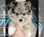 Puppy 1 Huskimo