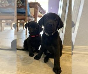 Labrador Retriever Puppy for sale in MC FARLAND, CA, USA