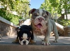 Bulldog Puppy For Sale in SAN FRANCISCO, CA, USA