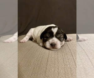 Schnauzer (Miniature) Puppy for Sale in CHESTERFIELD, South Carolina USA
