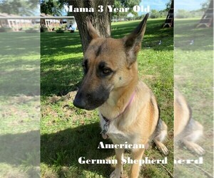 Mother of the German Shepherd Dog puppies born on 07/29/2020