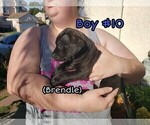 Small #9 American Pit Bull Terrier-Cane Corso Mix