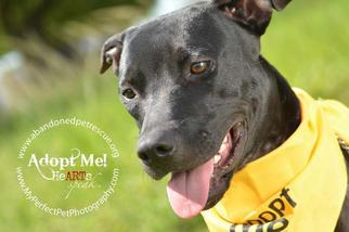 Shannon - Labrador Retriever / Terrier / Mixed Dog For Adoption