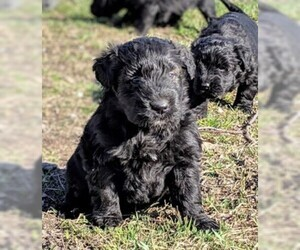 Bouvier Des Flandres Dog for Adoption in Summerland, British Columbia Canada