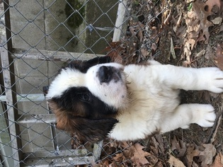 Saint Bernard Puppy For Sale in DERRY, NH