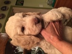 Labradoodle-Poodle (Standard) Mix Puppy For Sale in BEAVERCREEK, OR, USA
