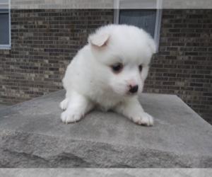 American Eskimo Dog Puppy for sale in ANN ARBOR, MI, USA