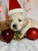 Golden Retriever Puppy For Sale near 46160, Morgantown, IN, USA