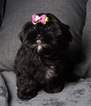 MANDY Adorable Shorkie Baby Ready to go