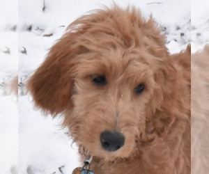Goldendoodle Puppy for sale in WEST SALEM, OH, USA