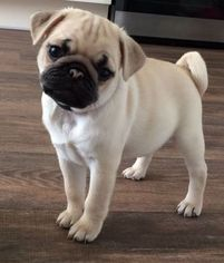 View Ad Pug Puppy For Sale Near Illinois Chicago Usa Adn 21809