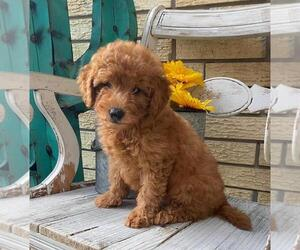 Goldendoodle Puppy for sale in ROYAL PALM BEACH, FL, USA