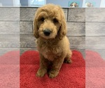 Image preview for Ad Listing. Nickname: goldendoodle