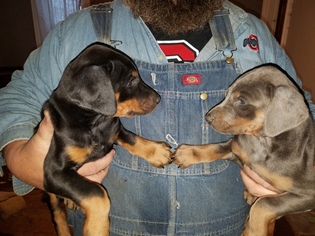 Doberman Pinscher Puppy for sale in SALEM, OH, USA