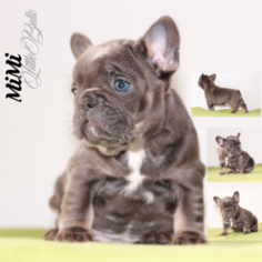 French Bulldog Puppy for sale in Zychlin, Lodz Voivodeship, Poland