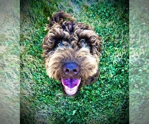 Goldendoodle Puppy for sale in WOODLAND, WA, USA