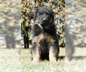 German Shepherd Dog Puppy For Sale in NAPPANEE, IN, USA