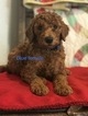 Poodle (Standard) Puppy For Sale in MOUNTAIN GROVE, MO, USA