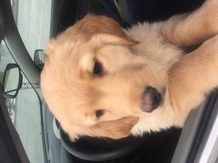 Golden Retriever Puppy for sale in TRENTON, MI, USA
