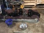Mastador Puppy For Sale in BERNARDSTON, MA,