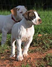 American Bulldog Puppy For Sale in WILKESBORO, NC, USA