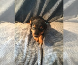 Airedale Terrier Puppy for sale in CONKLIN, MI, USA