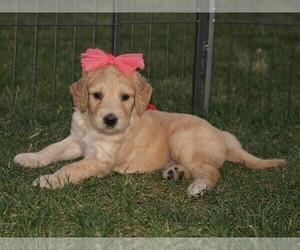 Goldendoodle Puppy for Sale in NUNN, Colorado USA