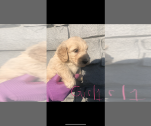 Goldendoodle Puppy for sale in CANTON, MI, USA