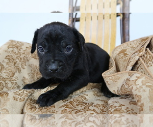 Cane Corso Puppy for sale in BLOOMINGTON, IN, USA