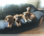 Five beautiful Rhodesian ridgeback pups 12weeks ol