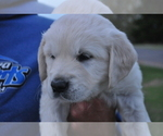 Puppy 1 English Cream Golden Retriever