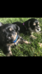 Snorkie Puppy For Sale in LAYTON, UT, USA
