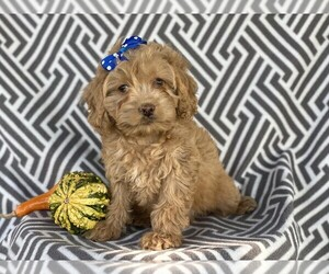 Cocker Spaniel-Poodle (Miniature) Mix Puppy for Sale in CEDAR LANE, Pennsylvania USA