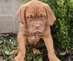 Small #1 Dogue de Bordeaux