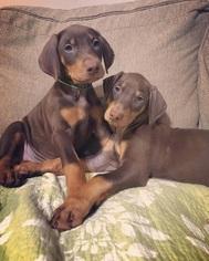 Doberman Pinscher Puppy for sale in ELYRIA, OH, USA