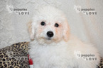 Bichon Frise Puppy For Sale in SANGER, TX, USA