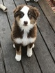 Australian Shepherd Puppy For Sale in PINE BUSH, New York,