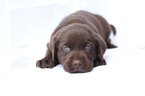Labrador Retriever Puppy For Sale in PIEDMONT, SC, USA