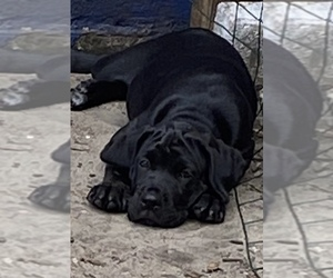 Cane Corso Puppy for sale in CLEARWATER, FL, USA