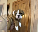 English Bulldog Puppy For Sale in WATERVILLE, OH, USA