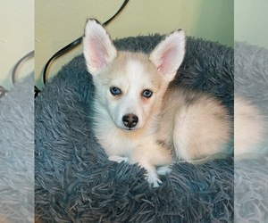 Pomsky Puppy for Sale in HOLLYWOOD, California USA