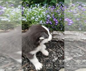 Siberian Husky Puppy for sale in AUBURN, NY, USA