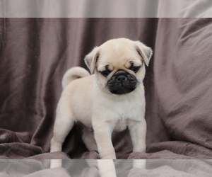 Chug Puppy for sale in SHILOH, OH, USA