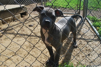 American Bulldog Puppy For Sale in WALWORTH, WI, USA